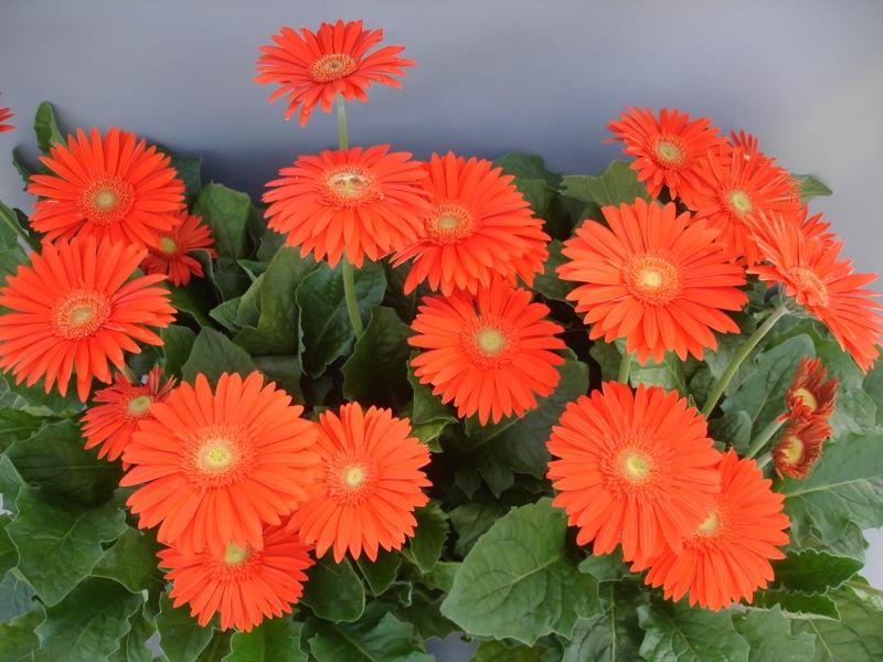 Funtastic™ Fire Orange 'UFGE 4141'