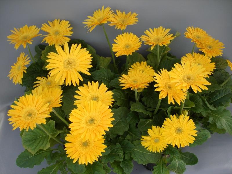 Funtastic™ Yellow 'UFGE 7023'