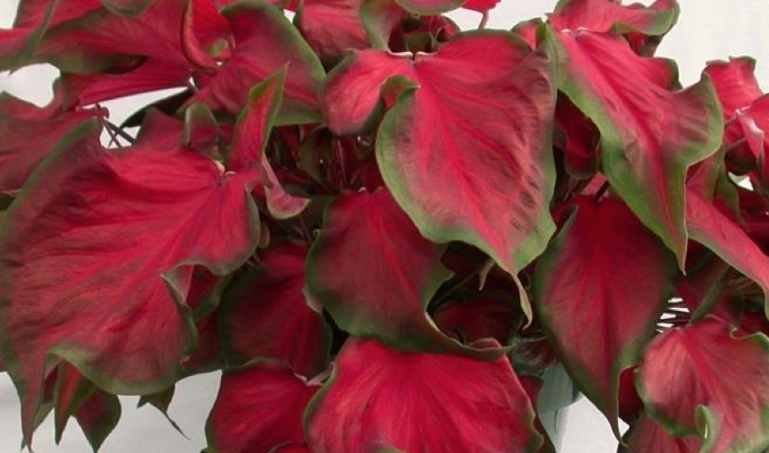 Florida Red Ruffles