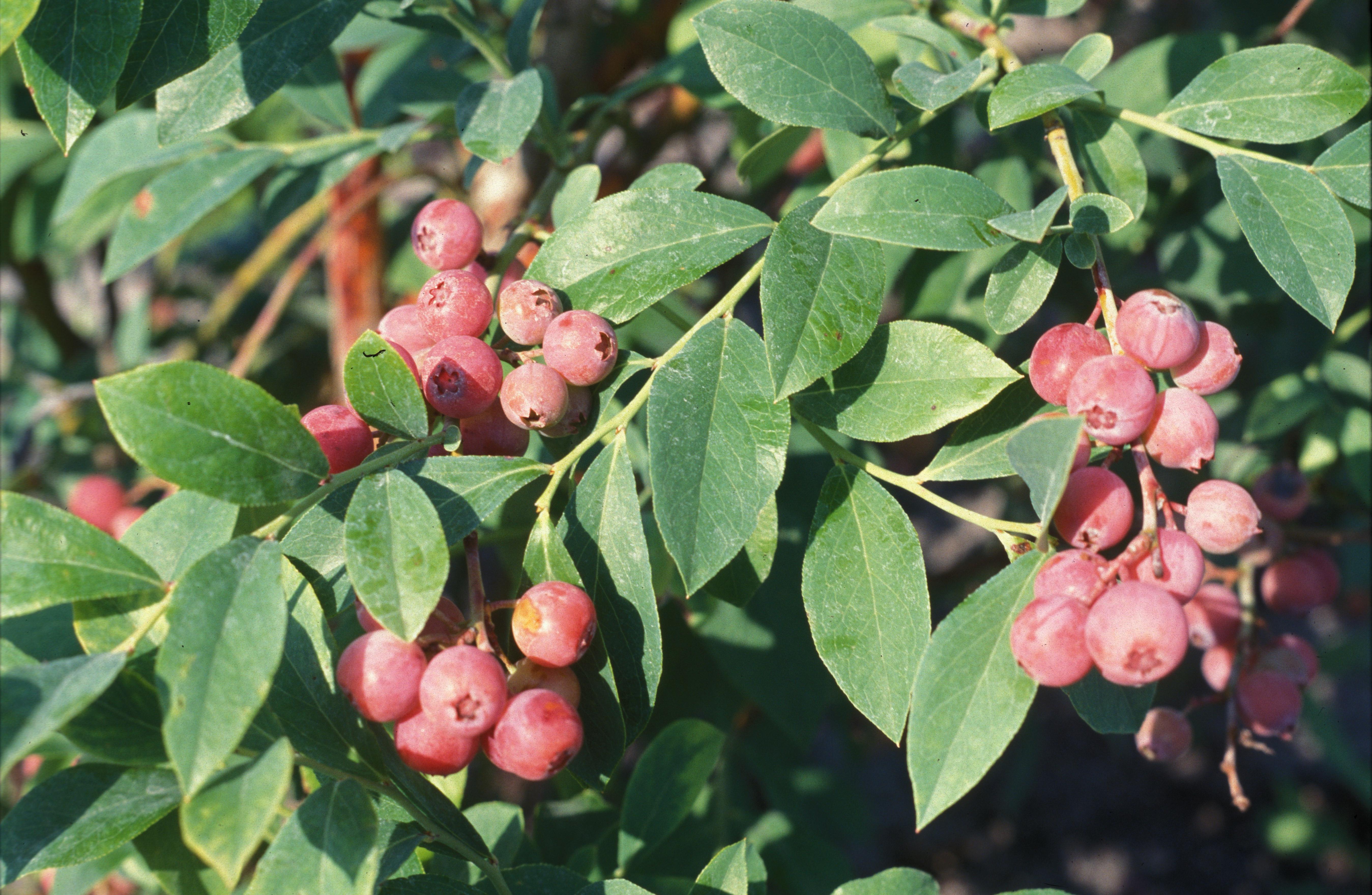 'Florida Rose'